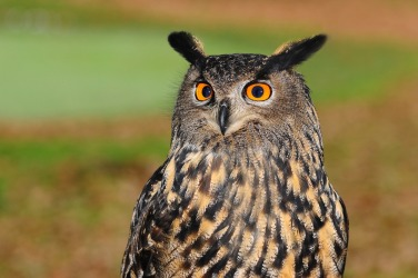 Eagle owl for Blog #9